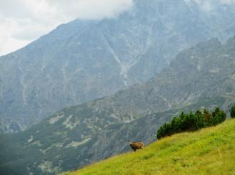 Mountain goat (?)