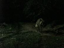 Hyena!