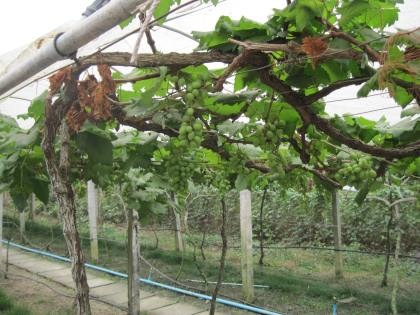 Grapes in Cambodia's only vineyard