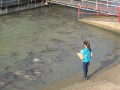 Fish feeding at Wat Phanan Choeng