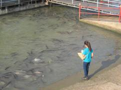 Fish feeding at Wat Phanan Choeng