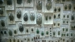 A large collection of beetles as well