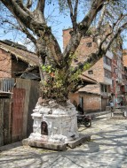 Tree growing out of a temple in a quiet side square
